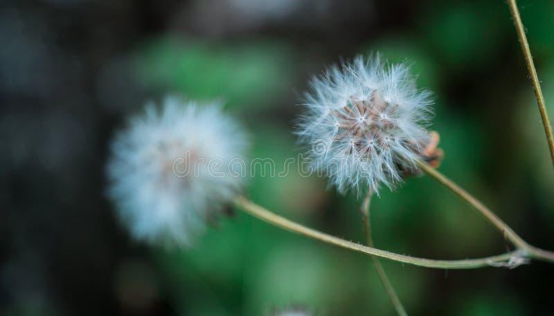 Tiro macro da flor do dente-de-le?o foto de stock