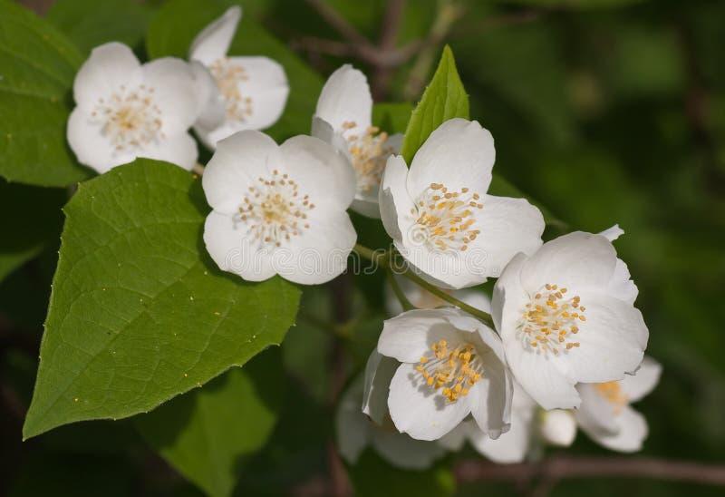 Tiro macro da flor do jasmim fotografia de stock