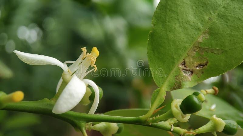 Tiro macro da flor do limão focalizado bem com folhas verdes imagem de stock