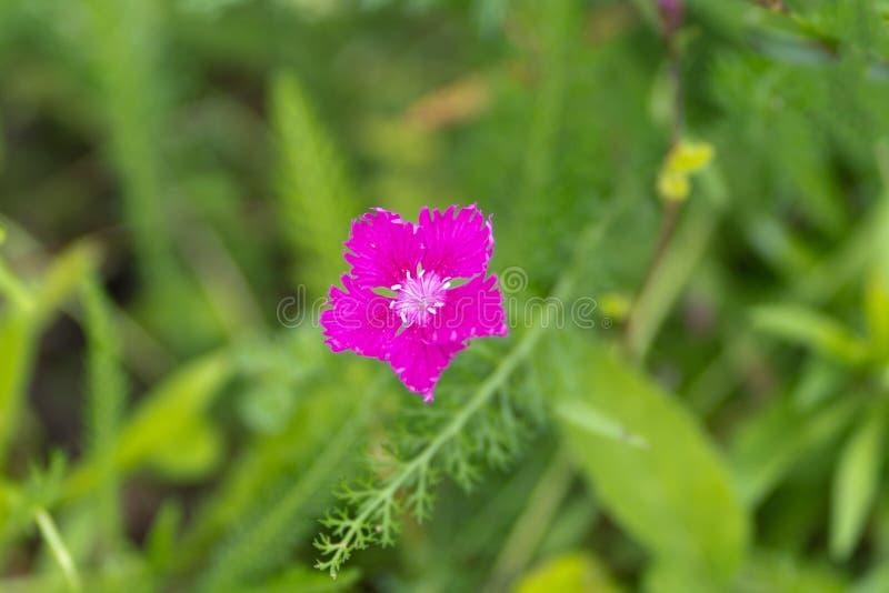 Tiro macro da flor roxa no foco macio imagens de stock