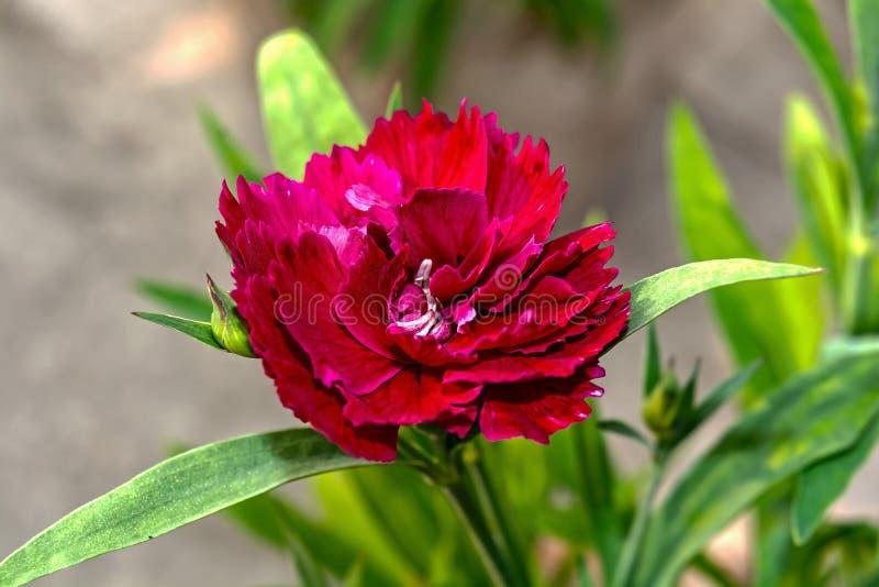 Tiro macro da flor vermelha do cravo-da-índia do cravo fotos de stock