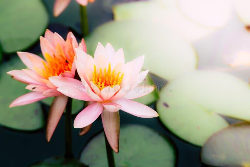 Tiro macro da foto na abelha que pulula na flor de lótus, flor de lótus roxa bonita com a folha verde na lagoa imagens de stock royalty free