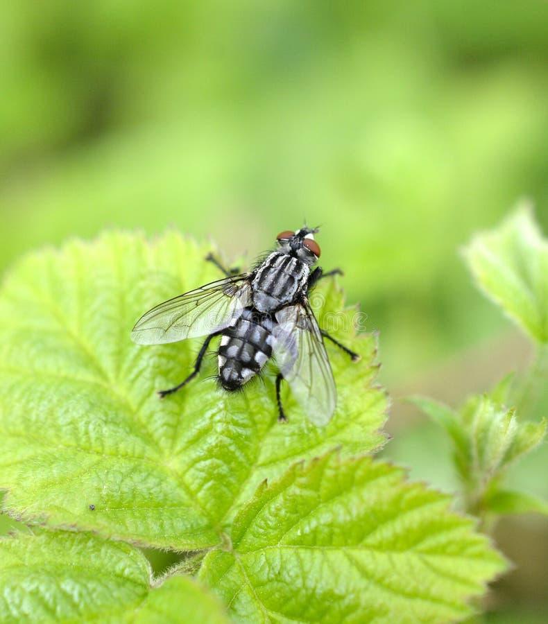 Tiro macro da mosca em uma folha imagens de stock royalty free