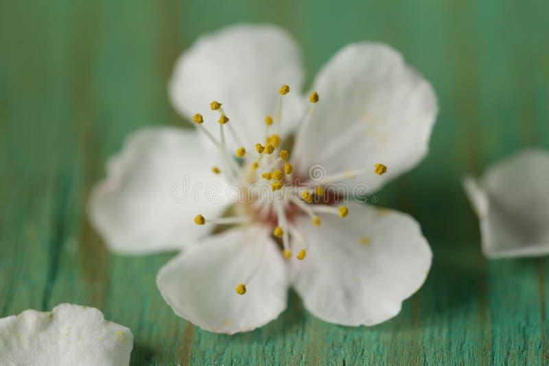 Tiro macro das flores de cerejeira foto de stock royalty free