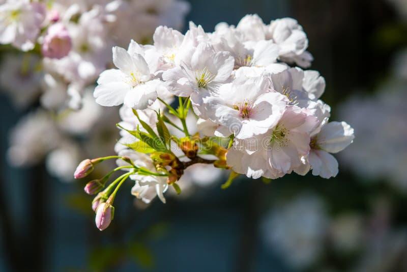 Tiro macro das flores de cerejeira brancas fotos de stock royalty free