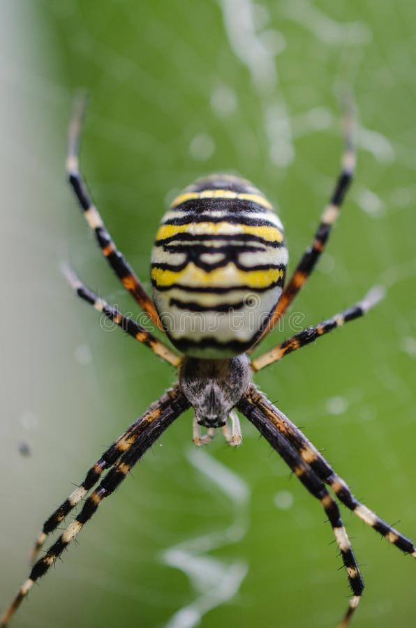 Tiro macro de aranha listrada fotos de stock royalty free