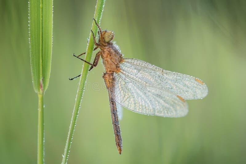 Tiro macro de coerulescens de Orthetrum da espumadeira de Keeled da libélula na grama imagens de stock royalty free