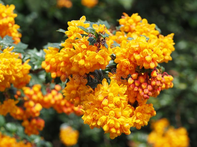 Tiro macro de flores amarelas do Mahonia em um dia ensolarado foto de stock royalty free