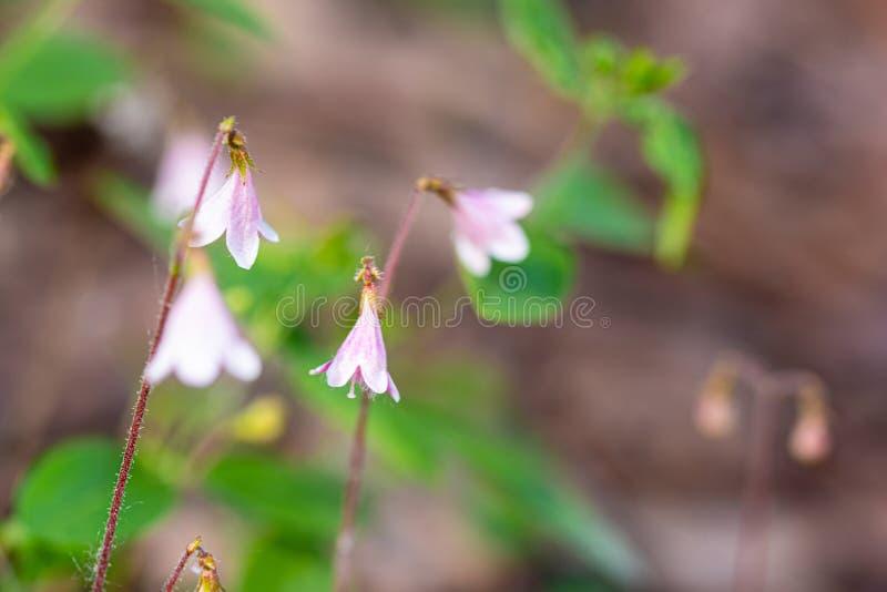 Tiro macro de flores gemelas fotografía de archivo