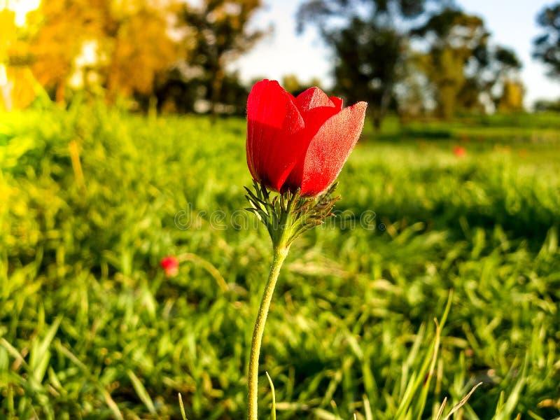 Tiro macro de florescência do inverno vermelho do campo das anêmonas na grama verde Fie fotografia de stock royalty free