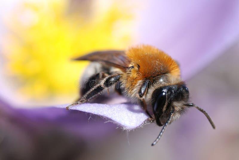 Tiro macro de la abeja en la flor del resorte fotografía de archivo