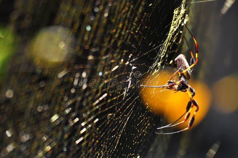 Tiro macro de la araña de seda de oro del Orbe-Tejedor imagen de archivo libre de regalías