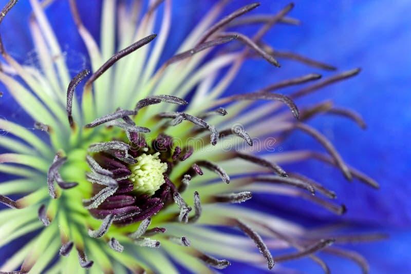 Tiro macro de la flor de pasque o del Pulsatilla, violeta imagen de archivo libre de regalías