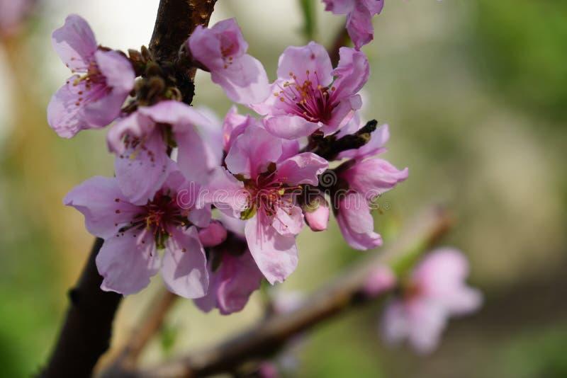 Tiro macro de la floración en flores de la primavera del árbol de melocotón imagen de archivo libre de regalías