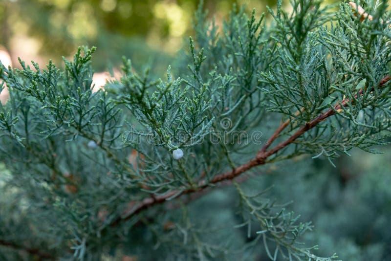Tiro macro de la rama del pino imágenes de archivo libres de regalías