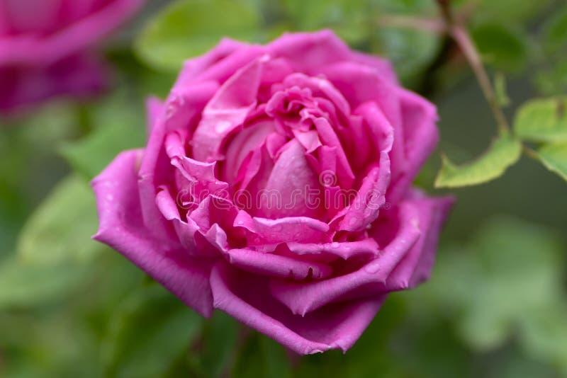 Tiro macro de la rosa rosada en foco suave imagen de archivo