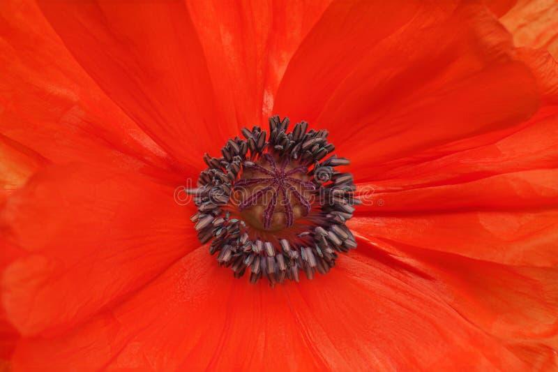 Tiro macro de la sola amapola roja. imagen de archivo