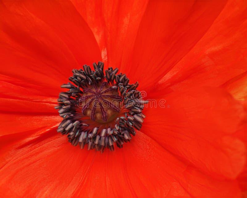 Tiro macro de la sola amapola roja. imagenes de archivo