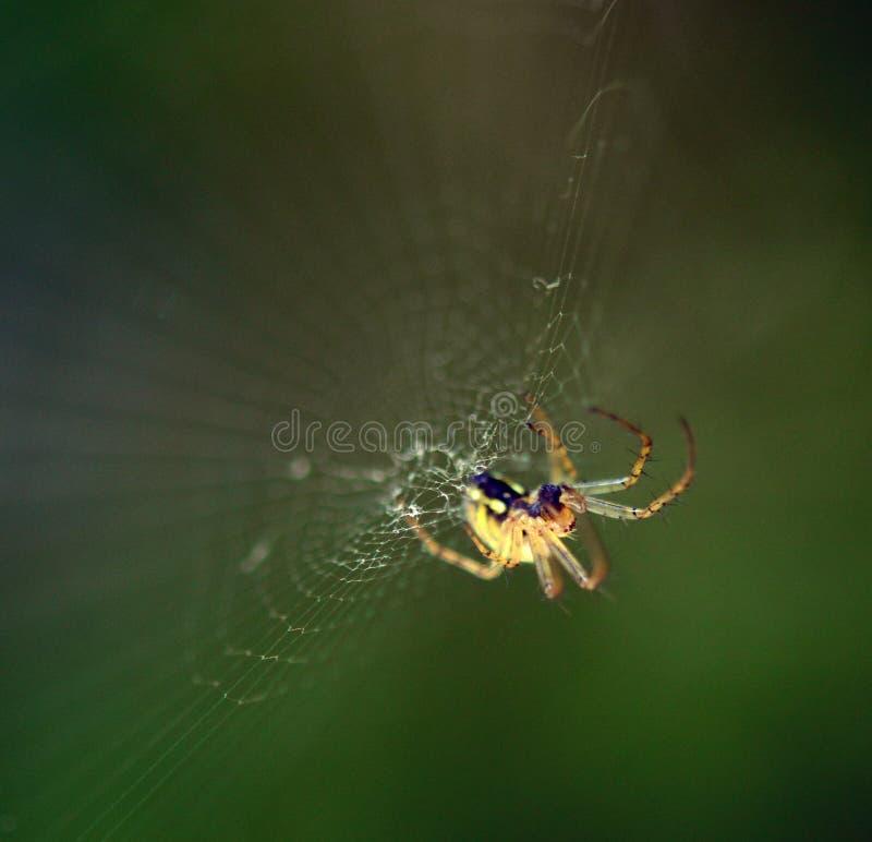 Tiro macro de la web del amd de la araña fotografía de archivo libre de regalías