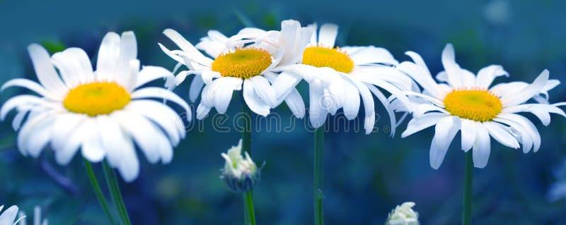 Tiro macro de las flores de la margarita blanca aisladas en fondo azul fotos de archivo