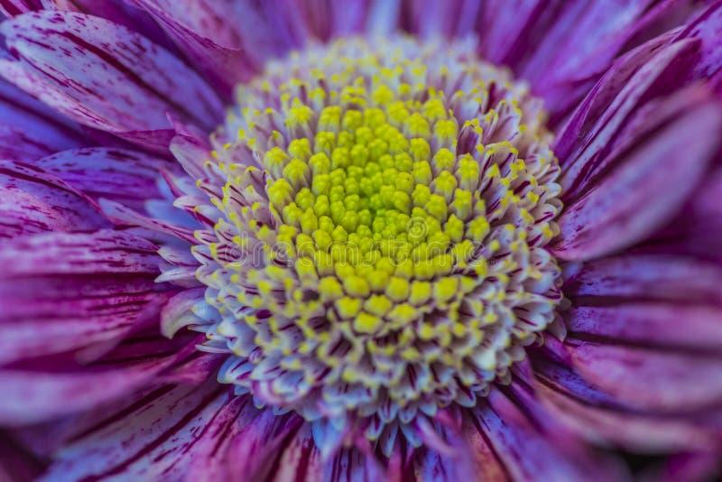 Tiro macro de los pétalos de Indicum del crisantemo de la clase de la serenidad en Keukenhof fotografía de archivo
