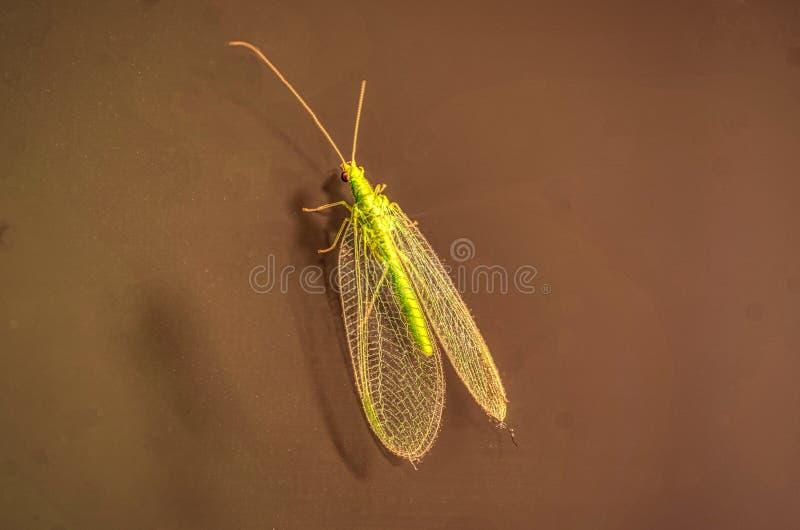 Tiro macro de um chrysopidae detalhado do lacewing verde fotos de stock royalty free