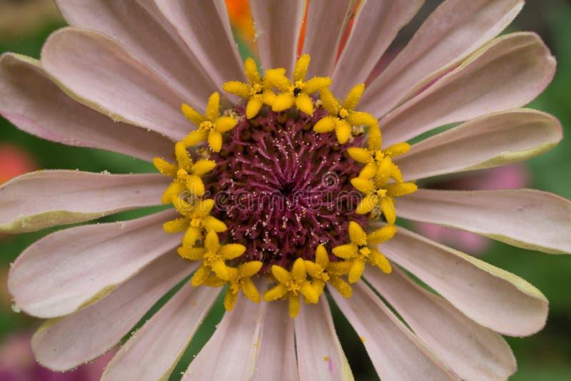 Tiro macro de um pálido - flor cor-de-rosa imagens de stock royalty free