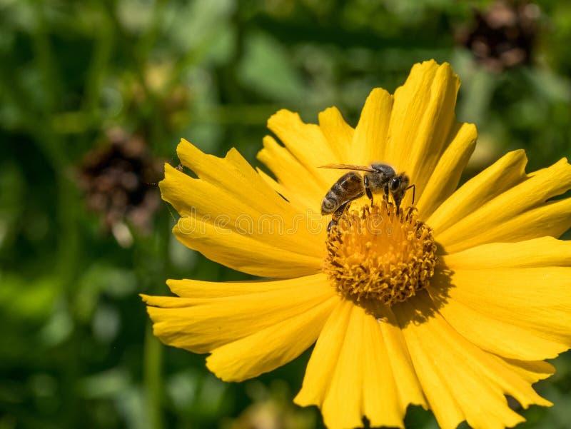 Tiro macro de uma abelha que senta-se na flor amarela da margarida imagens de stock royalty free