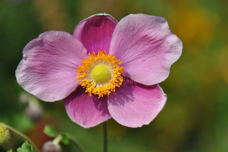 Tiro macro de uma anêmona japonesa cor-de-rosa imagem de stock