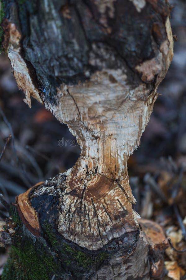 Tiro macro de uma grande árvore, mastigado por castores no outono imagens de stock royalty free