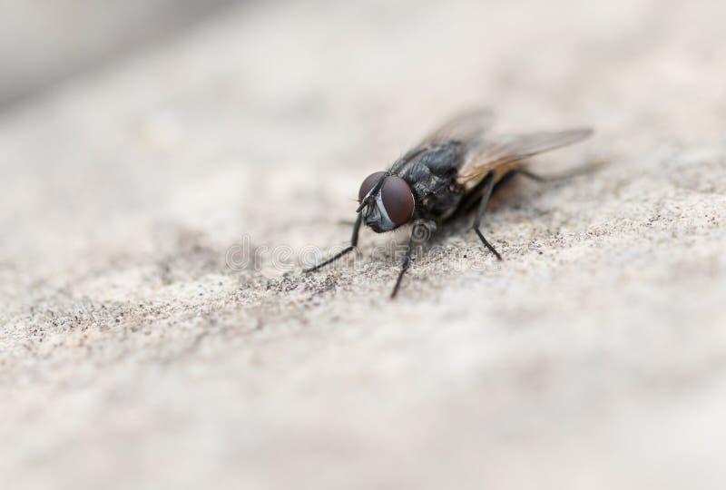 Tiro macro de uma mosca fotografia de stock
