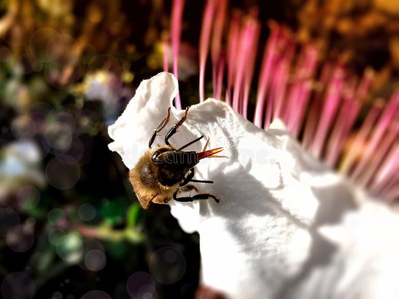 Tiro macro de una abeja fotos de archivo libres de regalías