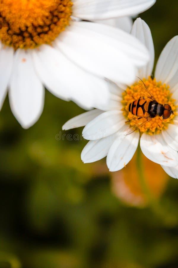 Tiro macro de una abeja en una margarita fotografía de archivo