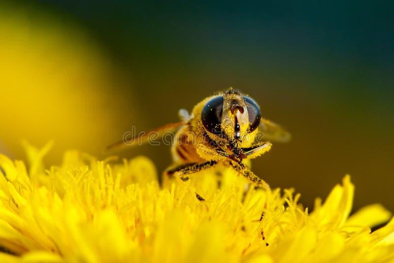 Tiro macro de una abeja en una flor imagen de archivo libre de regalías
