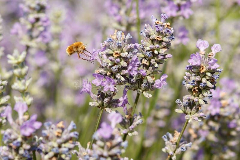 Tiro macro de una abeja-mosca y de un x28 grandes; Major& x29 de Bombylius; en una flor de la lavanda foto de archivo