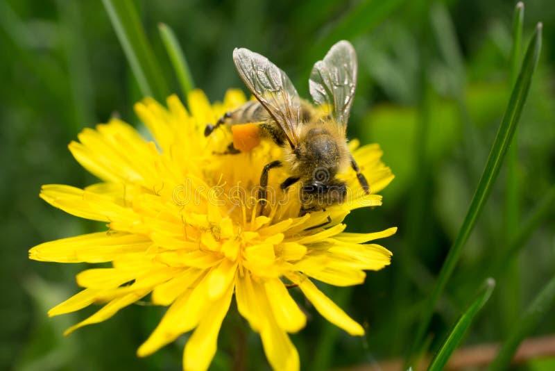 Tiro macro de una abeja que se sienta en la flor amarilla imagenes de archivo