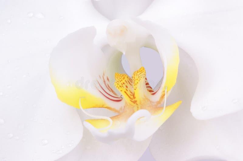 Tiro macro de una flor de Phalenopsys imagen de archivo