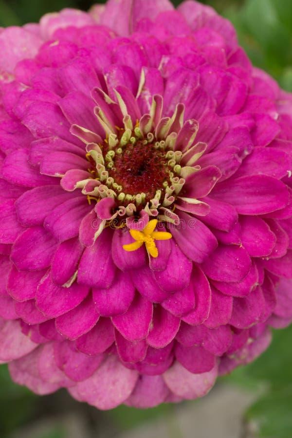 Tiro macro de una flor rosada foto de archivo libre de regalías