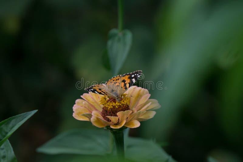 Tiro macro de una mariposa hermosa en un pálido - flor rosada imagenes de archivo