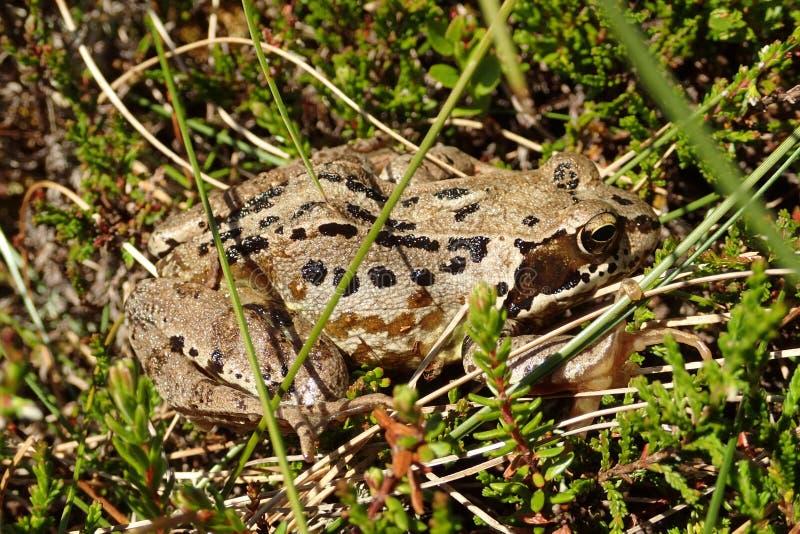 Tiro macro de una rana común adulta, Rana Temporaria, en las hierbas y el brezo en un día de veranos caliente imagen de archivo