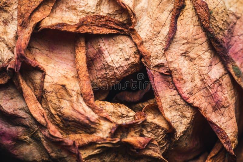 Tiro macro de una rosa descolorada fotos de archivo