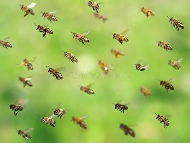 Tiro macro del enjambre de la abeja del vuelo después de recoger el polen en primavera en bokeh verde foto de archivo libre de regalías