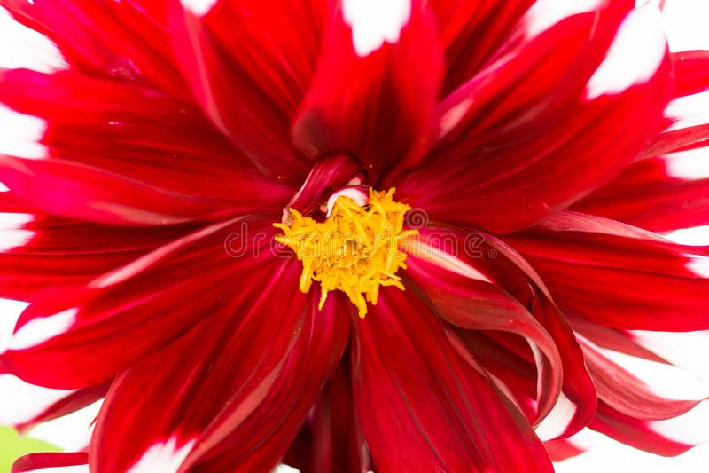 tiro macro del foco estupendo borroso horizontal de un backgro rojo de la flor fotos de archivo libres de regalías