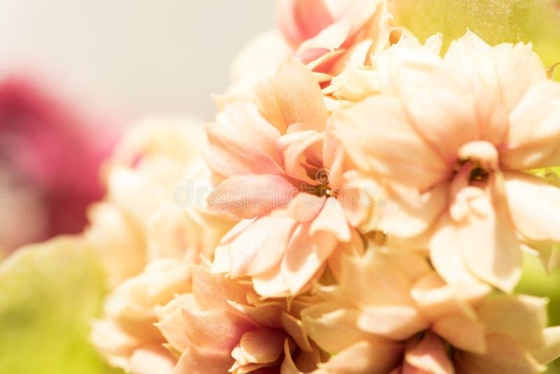Tiro macro del fondo de la flor floral de Kalanchoe, bokeh fotos de archivo