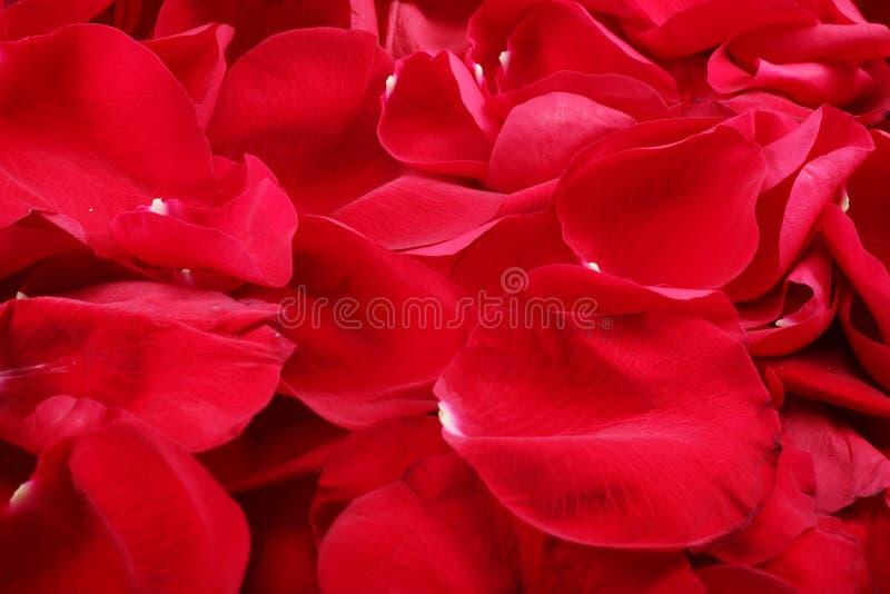Tiro macro del fondo de pétalos color de rosa rojos fotografía de archivo
