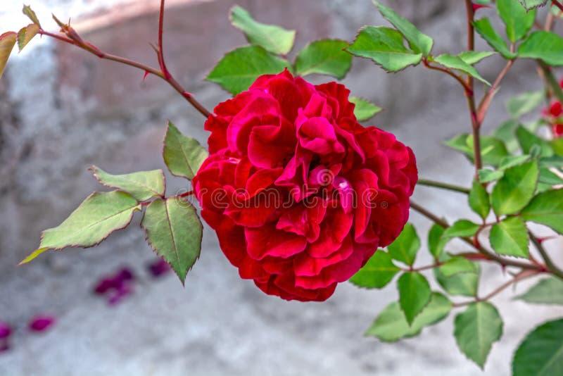 Tiro macro del híbrido de color rojo oscuro hermoso Rose perpetua fotografía de archivo