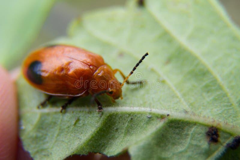 Tiro macro del insecto del escarabajo fotos de archivo