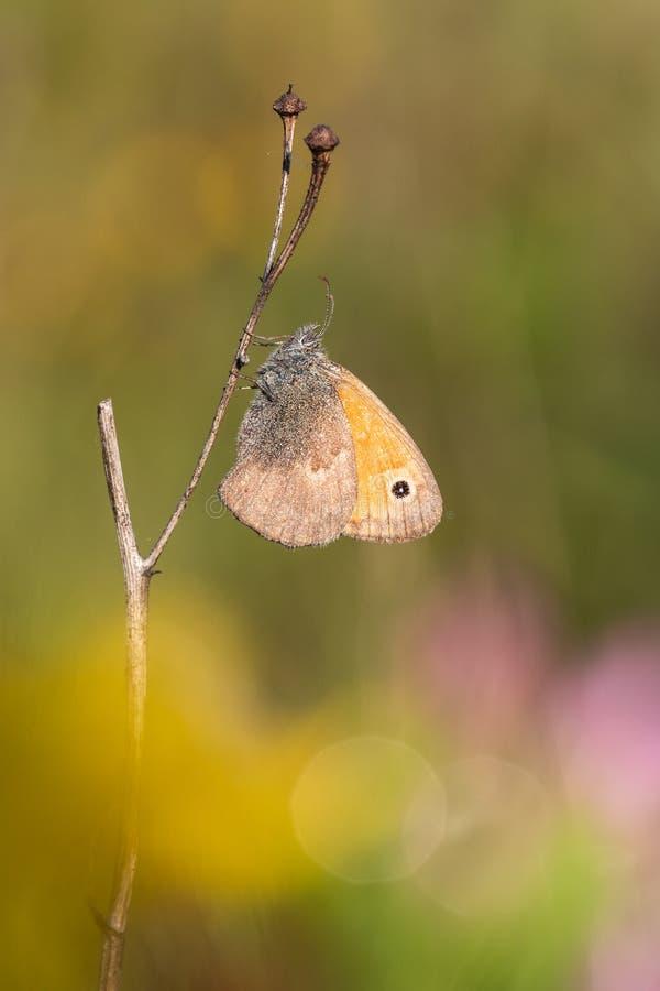 Tiro macro del pequeño pamphilus de Coenonympha del brezo de la mariposa en la hierba imagen de archivo