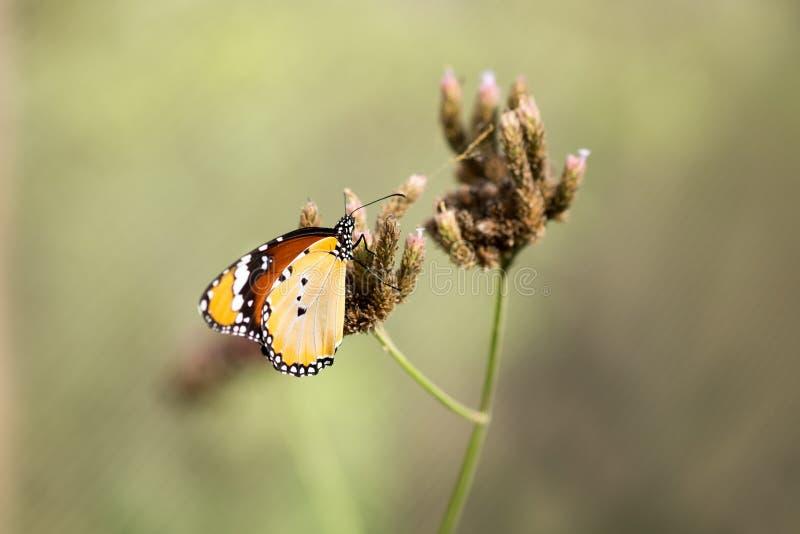 Tiro macro del plexippus del Danaus de la mariposa de monarca imagen de archivo
