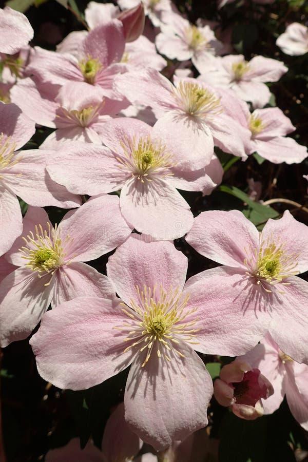 Tiro macro del ` rosado de Montana del ` de la clemátide, flores en la plena floración imagenes de archivo
